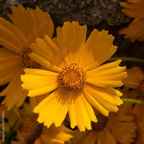 Foto Murales Fleur de coréopsis