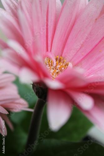 Gerbera rosa - 209740409