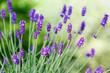 Blumen Lavendel