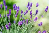 Blumen Lavendel - 209741266