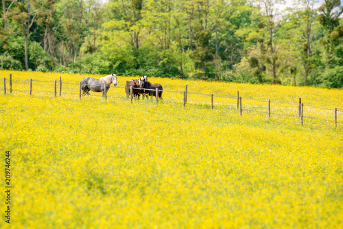 Fotobehang Meloen Percherons horses in a field of yellow wildflowers in Perche province, France