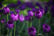 tulip, flower, spring, nature, purple, tulips, pink, garden, flowers, green, floral, field, beauty, blossom, plant, bloom, beautiful, petal, flora, color, summer, season, park, leaf, day