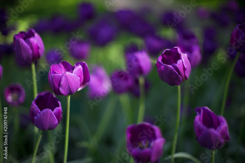 tulip, flower, spring, nature, purple, tulips, pink, garden, flowers, green, floral, field, beauty, blossom, plant, bloom, beautiful, petal, flora, color, summer, season, park, leaf, day
