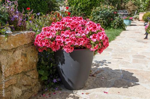 Foto Murales Géranium rose en pot