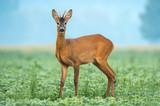 Wild roe deer standing in a soy field - 209749494