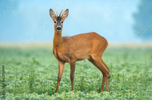 Fototapeta Wild roe deer standing in a soy field