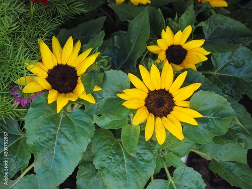 Foto Murales yellow sunflower flower