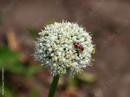 Beetle on a flower - 209753027