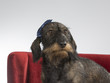 Funny wiener dog. The dog sits on a red sofa and is wearing a bow in it's head.