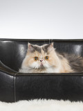 Persian cat on a black leather sofa. - 209759002