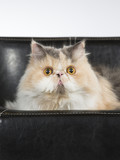 Persian cat on a black leather sofa. - 209759019