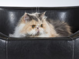 Persian cat on a black leather sofa. - 209759054