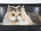 Persian cat on a black leather sofa. - 209759066