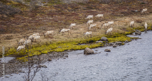 Aluminium Bleke violet Herd of wild deer in Iceland