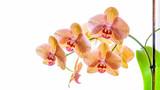 Fototapety Gelbe Phalaenopsis Orchidee isoliert