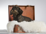 Funny wiener dog picture. The dog is in a wooden suitcase. Image taken in a studio. - 209761434