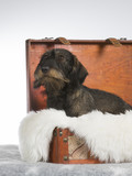 Funny wiener dog picture. The dog is in a wooden suitcase. Image taken in a studio. - 209761453