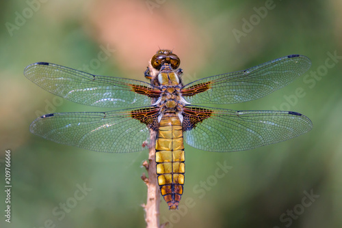Foto Murales Dragonfly - Broad-bodied Chaser - male of Libellula depressa - close up - top view
