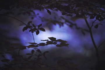 Scary dark violet colored forest with tree branches background. Selective focus used. © robsonphoto