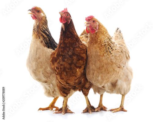 Three brown chicken. - 209778089