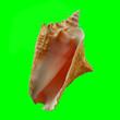 Leinwandbild Motiv Conch Shell on Chroma Key Green Background 2