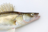 The Walleye or Pike-perch - Sander lucioperca. Fishing catch on white background. - 209786290