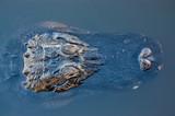 headshot American alligator floating on water surface - 209789278
