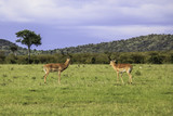 Two Impalas Facing Each Other in the African Savannah of the Masai Mara National Reserve in Kenya - 209793482