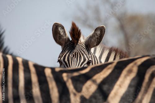 Naklejka Zebra detailed photo