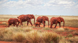 Group of elephants (Loxodonta africana), red from dust, walking on dry Africa savanna with small bushes. Tsavo East, Kenya © Lubo