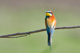 European Bee Eater on a branch - 209822803