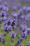 Lavender flowers blooming in the garden, beautiful lavender field - 209827418