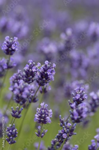 Lavender flowers blooming in the garden, beautiful lavender field - 209827418