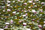 Water lilies specialize in life in ponds and lakes.They anchor themselves in the mud of the watered.As an aquatic plant, the water lily belongs to the hydrophytes and has some special adaptations.