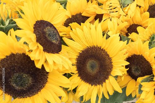Beautiful sunflowers growing in the field