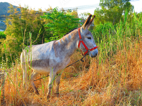 Foto Murales Tethered donkey on grassy hill