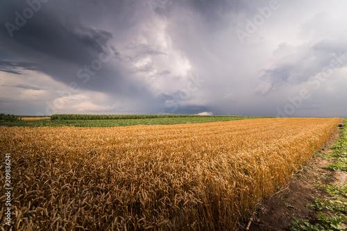 Pole pszenicy w burzliwy dzień