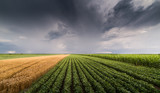 Soybean and wheat fields ripening at spring season stormy day - 209836646