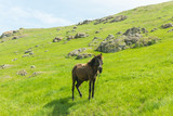A brown foal grazing on a summer day on a green meadow in a countryside in Moldova, Europe - 209842067