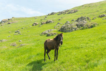 A brown foal grazing on a summer day on a green meadow in a countryside in Moldova, Europe