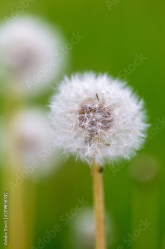 Fluffy dandelion on nature - 209856832