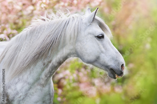 Foto Murales White horse portrait in spring pink blossom tree