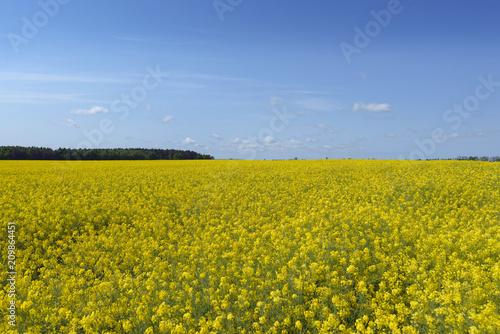Fototapeta Yellow rape colza in sunny day