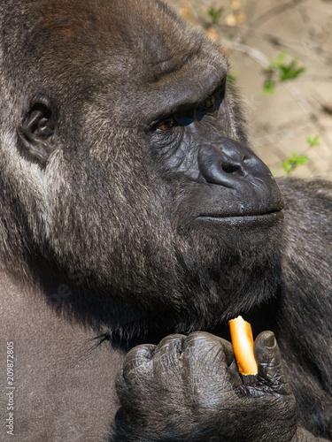 Foto Murales Gorilla eats bread in her hand in the park