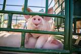 Hog waiting feed. Pig indoor on a farm yard. swine in the stall. Portrait animal.