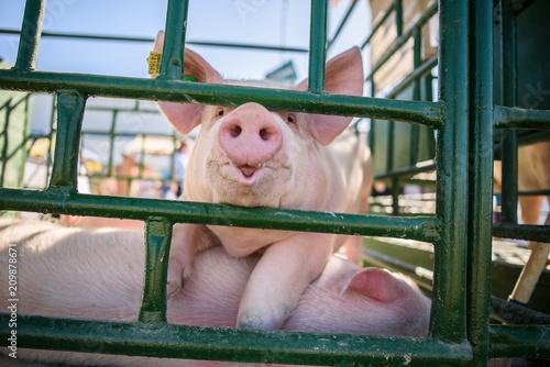 Hog waiting feed. Pig indoor on a farm yard. swine in the stall. Portrait animal. - 209878671