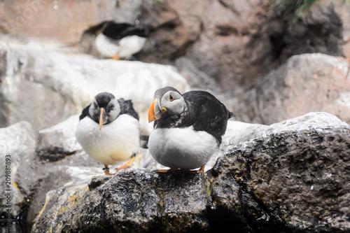 Aluminium Pinguin Photo Picture of Wild Penguin Animal Bird Playing