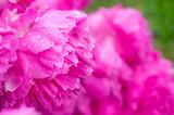 Beautiful blooming flowers of peonies in raindrops - 209888878
