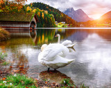 Two white swans in crystal clear water Grundlsee Lake. - 209890430