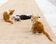 gattini belli maine coon giocano in campagna